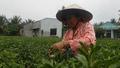 Flooding Devastates Vietnam's Tet Flower Crop