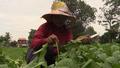 Cambodian Farmers Go Organic for Profit, Health
