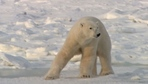 The Politics of Polar Bears