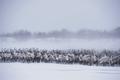 Reindeer, Arctic Coast