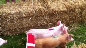 Thumbnail for entry Firkløverweekend i Rækker mølle - grisevæddeløb