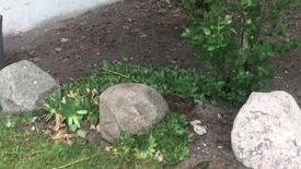 Thumbnail for entry Harekilling på besøg i haven.
