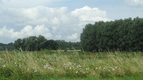 Køer på Eng.