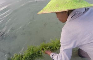 INDONESIA: Empowered with Seaweed