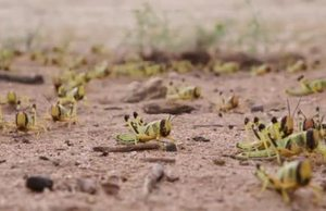 Desert Locust in Kenya - Support to Farmers in Turkana County VNR