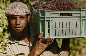 Mabrook - A grape farmer in Egypt