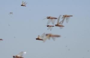 Locust Outbreak in Ethiopia