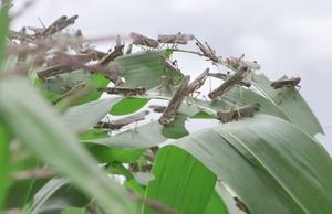 Biopesticides for locust control in Madagascar