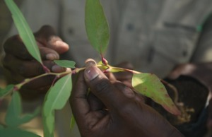 Broll: Controlling invasive plant pests in Zimbabwe