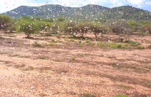 FAO's continuous effort to fight Desert Locust upsurge in Kenya despite of COVID-19 constraints.