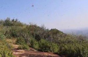 Desert Locust in Kenya VNR