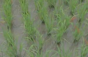 Broll Growing Rice and Fish together in China