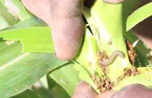FAO: Fall Armyworm interventions in Cabo Verde