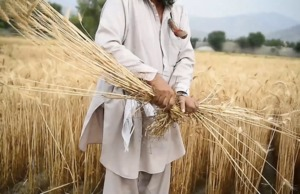 FAO: Afghanistan: FAO appeals for $36 million to urgently save rural livelihoods and avoid massive displacement