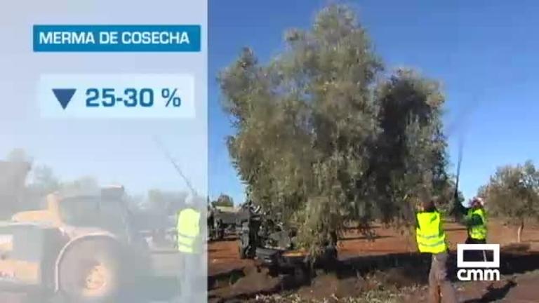 Acaba la campaña de recogida de aceituna con 30 por ciento menos por la sequía