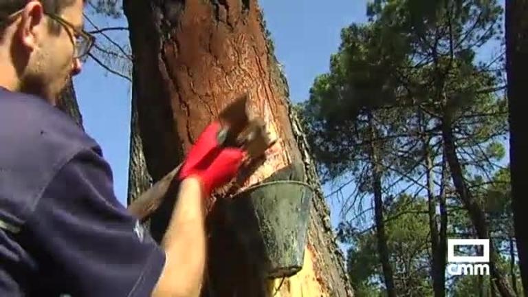 Cuenca busca futuro en recursos naturales como el pino y la resina