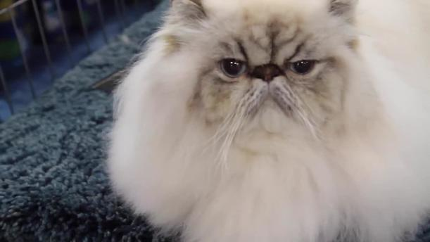 Himalayan cat losing teeth