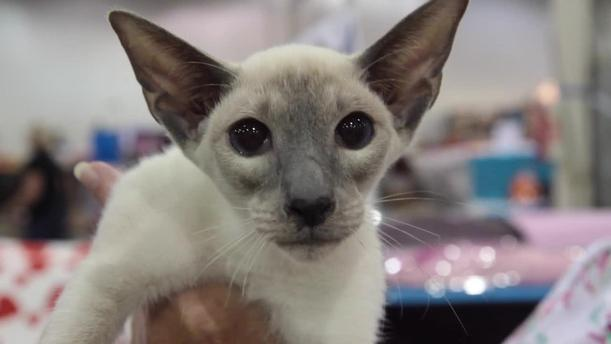 In Fact Its Signature Bright Blue Eyes Physique And Coat Color All Explain Why The Siamese Cat Is Arguably Most Recognizable Breed In