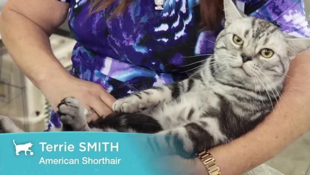 How much is a american shorthair cat