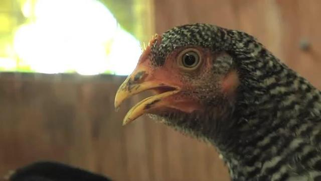 Video Thumbnail For Video: A Vets Guide To Keeping Backyard Hens