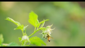 Thumbnail for entry Honey Bees In 4k