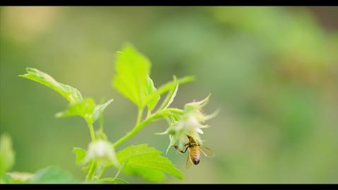 Honey Bees In 4k