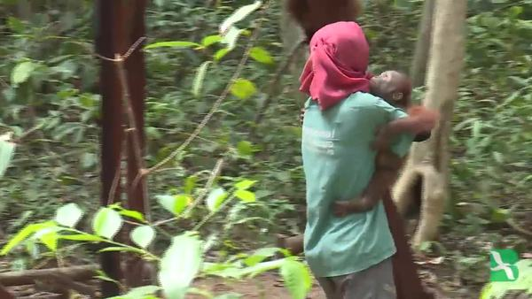 """Sekolah Hutan"" untuk Membantu Pelepasliaran OrangUtan"
