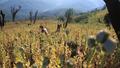Myanmar's Opium Farmers Cling to Lucrative Crop