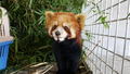Lao Officials Arrest Red Panda Traffickers