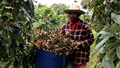 Cambodia's longan farmers plead for government help as prices plunge