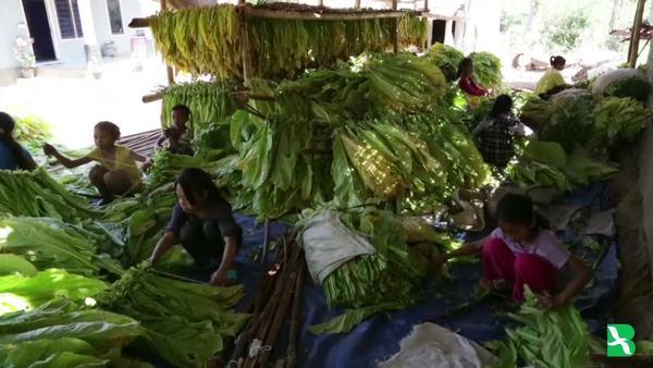 Nasib Buruh Anak Perkebunan Tembakau