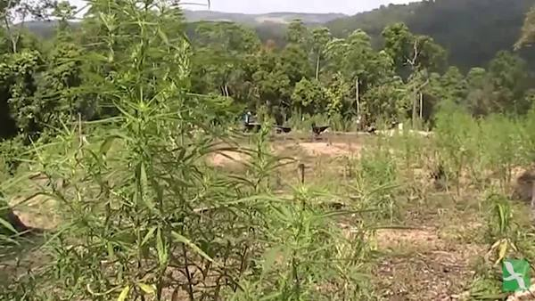 Petani Ganja Aceh Berkonversi