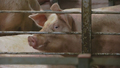 Large-Scale Pig Farms Taking Over in China