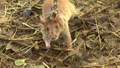 Cambodia Deploys New Army of Rat Recruits to Sniff Out Old Landmines