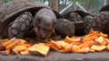 Myanmar Tortoises Fight Extinction
