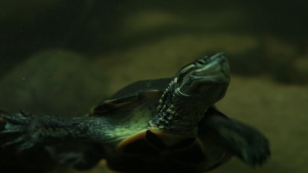 The Fight to Save Vietnam's Endangered Turtles