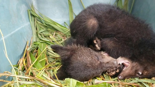 Black Bear Cubs Rescued in Remote Laos