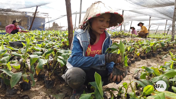 RFA Reveals New China Banana Plantation Outside Lao Capital
