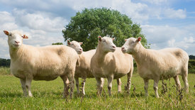 Thumbnail for entry Nottingham Dollies prove cloned sheep can live long and healthy lives