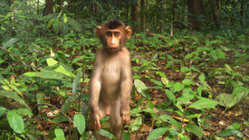 Fruit gardens enhance mammal diversity  and biomass in Southeast Asian rainforest