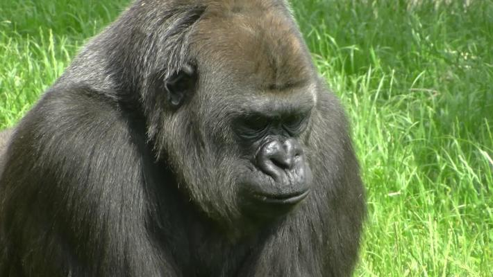 Ape Heart Project - Twycross Zoo and The University of Nottingham