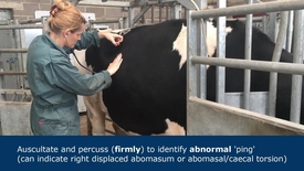 Thumbnail for entry Abdominal examination in ruminants