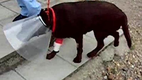 Thumbnail for entry Gait analysis of the dog: Clip 3