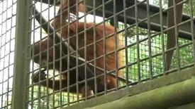 Seeing the world through the eyes of an orangutan