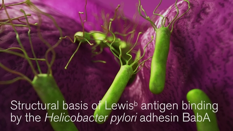 Thumbnail for entry Revealed - Helicobacter pylori's secret weapon