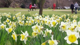 Thumbnail for entry University Park Daffodils
