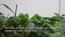 Thumbnail for entry Talk on Bambara Groundnut impresses at UK PlantSci 2014