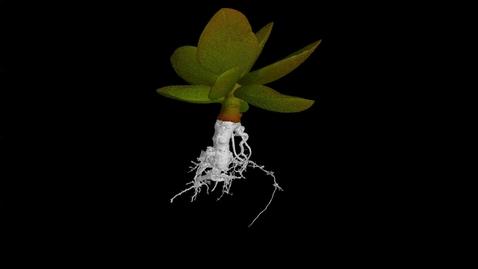 Thumbnail for entry UoN The Hidden Half: Calico Hearts(Adromischus maculatus)
