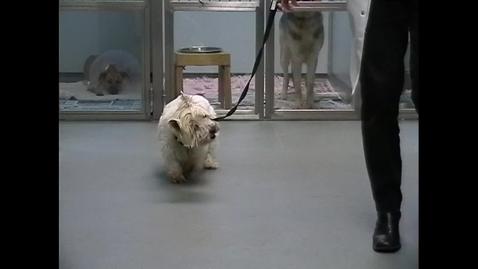 Thumbnail for entry Vestibular ataxia in the dog: Clip 1