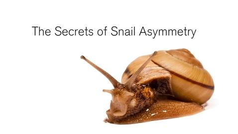 Thumbnail for entry Snail shells offer clue in common origins of body asymmetry